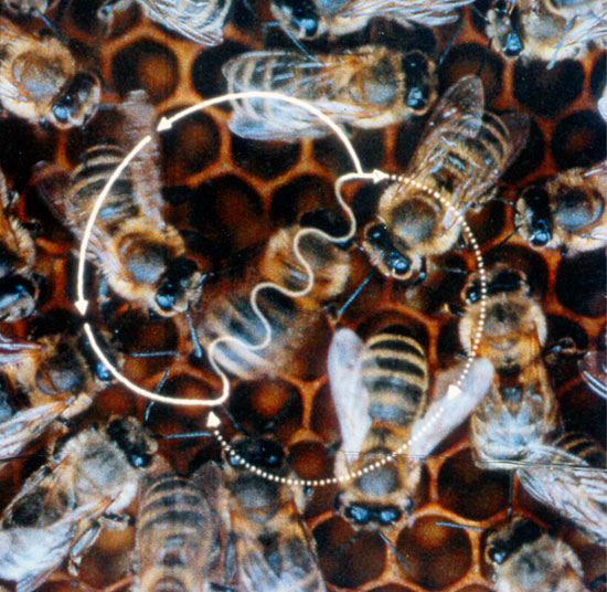The waggle dance of bees